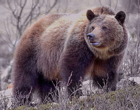 _Silvertip Grizzly_   Photographer_ Sharrell Perry