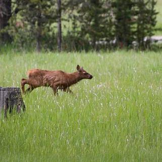 Elk Calf-13.jpg
