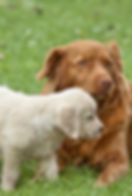 Two puppies golden retriever playing wit