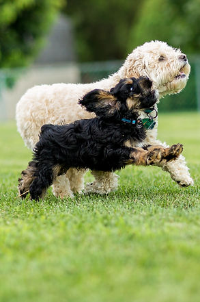Two dogs playing in a grass field.jpg
