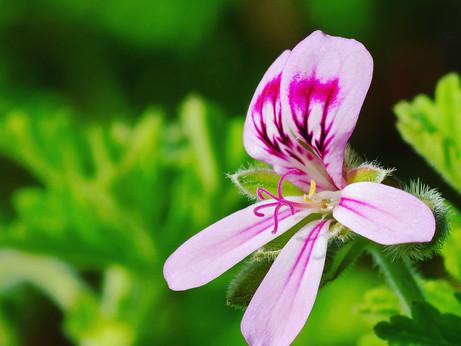 Witchy Wednesdays - Geranium (Pelargonium)