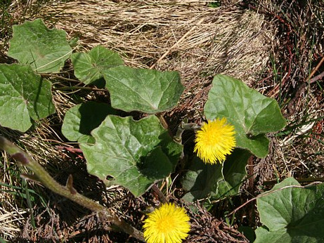 Witchy Wednesday - Coltsfoot