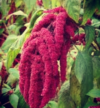 Witchy Wednesdays - Amaranth