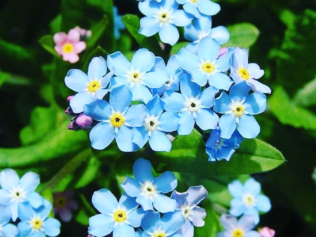 Witchy Wednesdays - Forget me nots