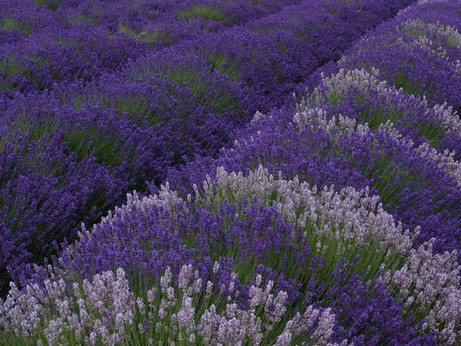 Witchy Wednesdays - Lavender