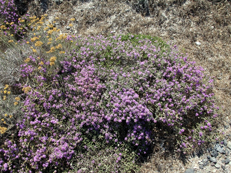 Witchy Wednesdays - Thyme