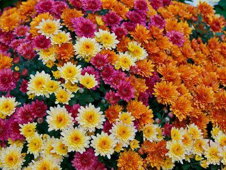 Witchy Wednesday - Chrysanthemum