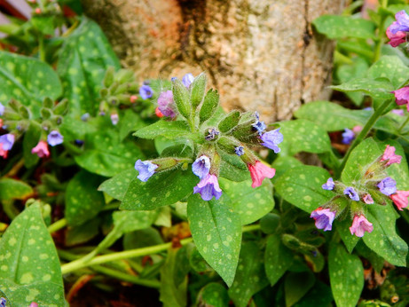 Witchy Wednesdays- Lungwort
