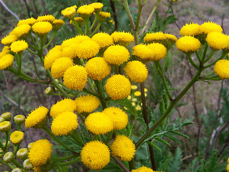 Witchy Wednesdays - Tansy