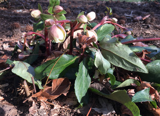 Lenten Roses think Lent is starting in January this year!
