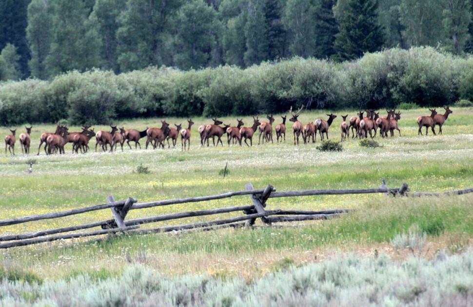 EXH.Elk Herd Grand Teton 1407.019.DT_7598_2014 Resized.jpg