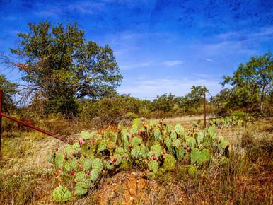Cactus Along Cemetery Fence Row