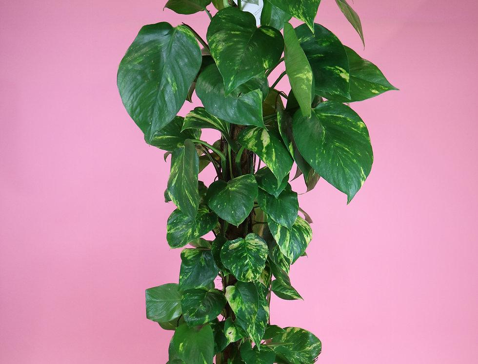 XL Devils Ivy on Moss Pole