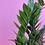 Thumbnail: ZZ Plant (Zamioculcas Zamiifolia)