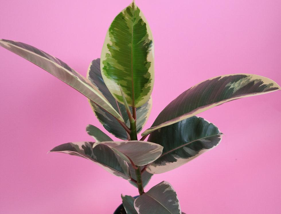 Ficus Tinkeke