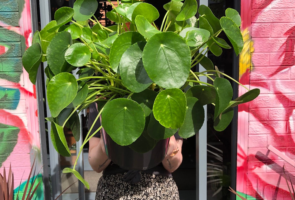 XL Pilea Peperomioides (Chinese Money Plant)