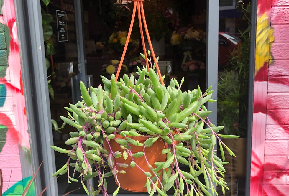 Senecio Purple Flush 'String of Bananas'