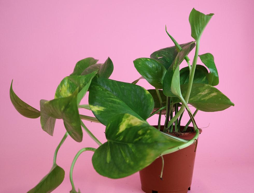 'Devils Ivy' Epipremnum aureum