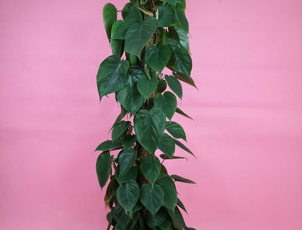 XL Philodendron Scandens on Moss Pole