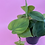 Thumbnail: Philodendron Scandens