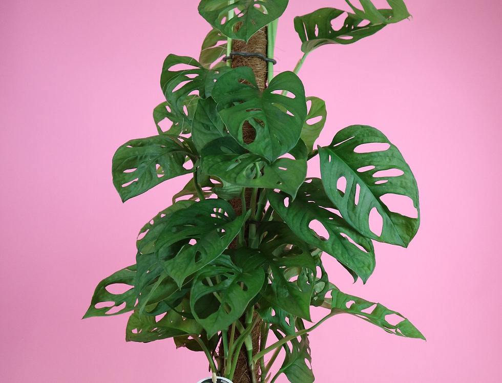 Monstera Monkey Mask on Moss Pole