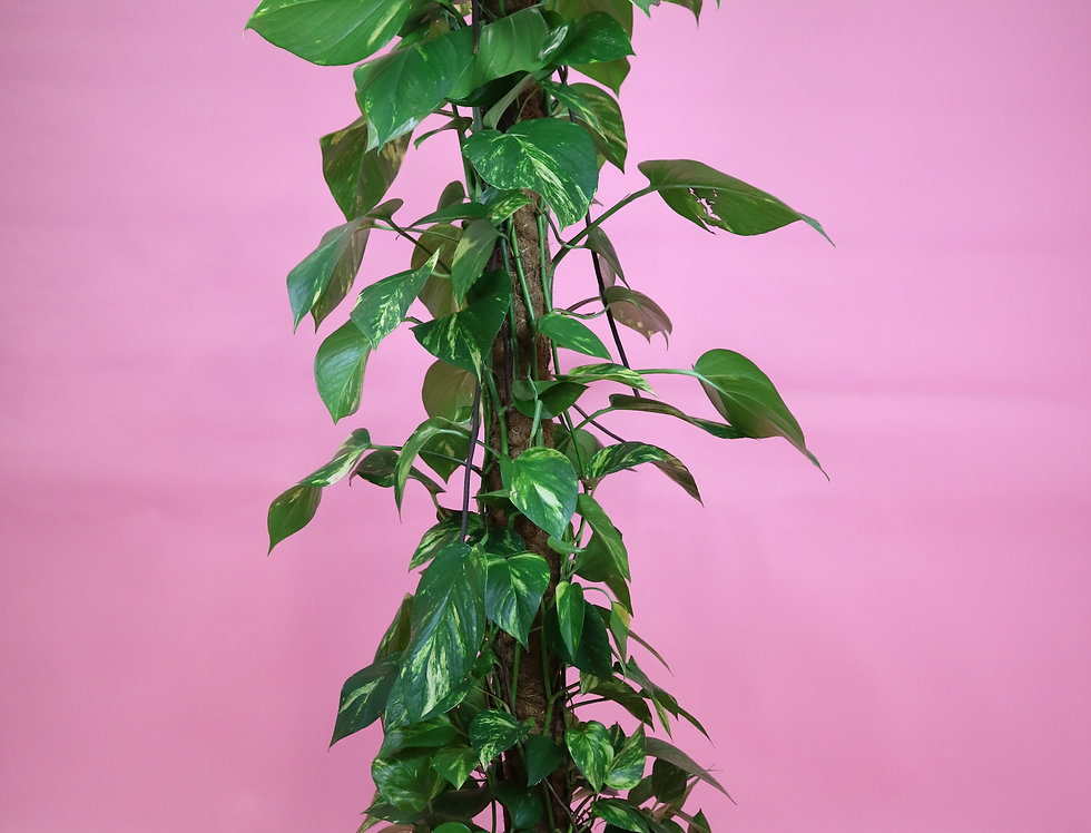 XXL Devils Ivy on Moss Pole