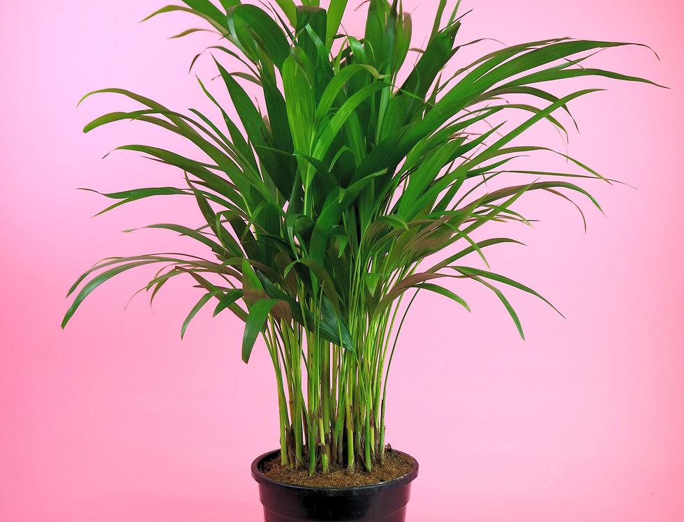 Areca Palm - small