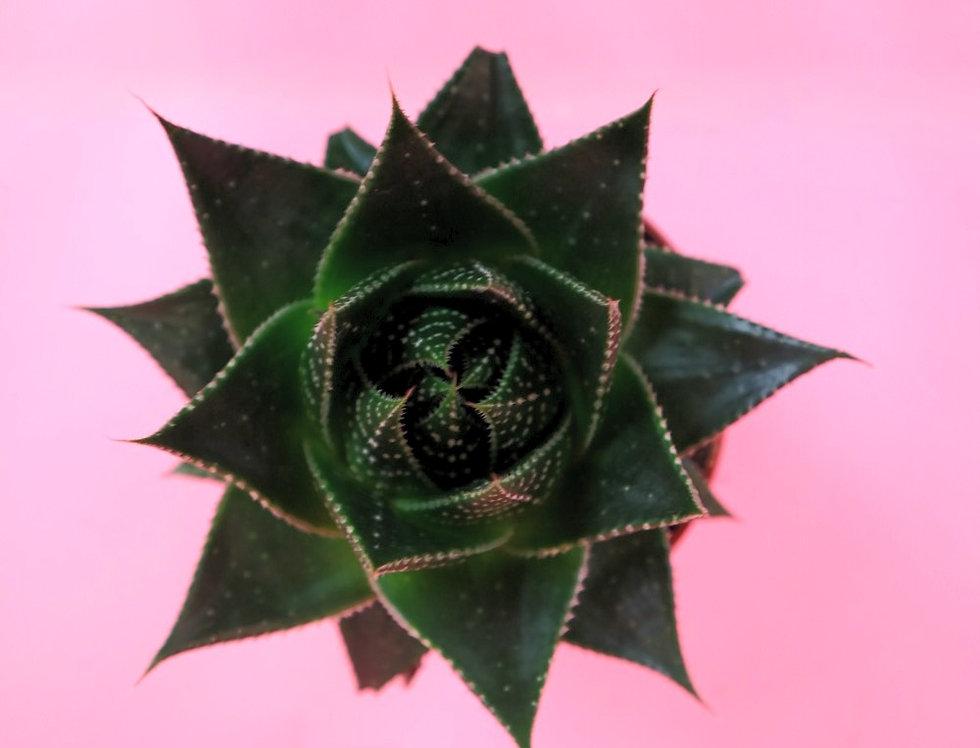 Aloe Cosmo