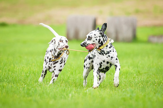 Dalmation Dogs Playing on Lawn