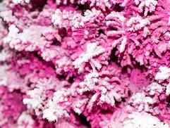 Pink:White Closeup 2.jpg