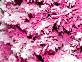 Pink:White Closeup 2.jpg