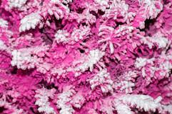 Pink:White Closeup.jpg