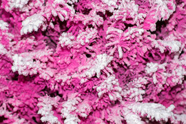 Pink:White Closeup.jpg