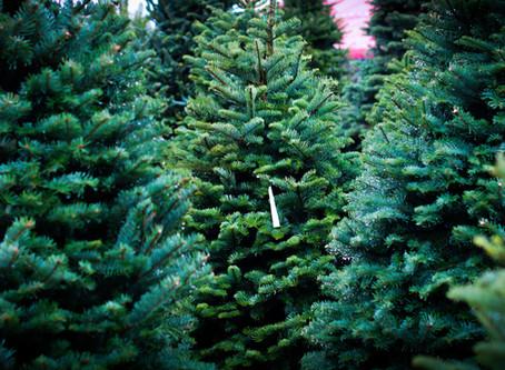 December Designs Adds Nordman Christmas Trees