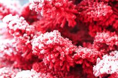 Red:White Good Closeup.jpg