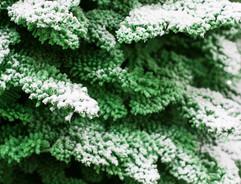 Green:White Closeup2.jpg