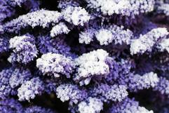 Purple:White Closeup 2.jpg