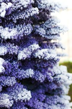 Purple:White.jpg