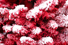 Red:White Closeup 3.jpg