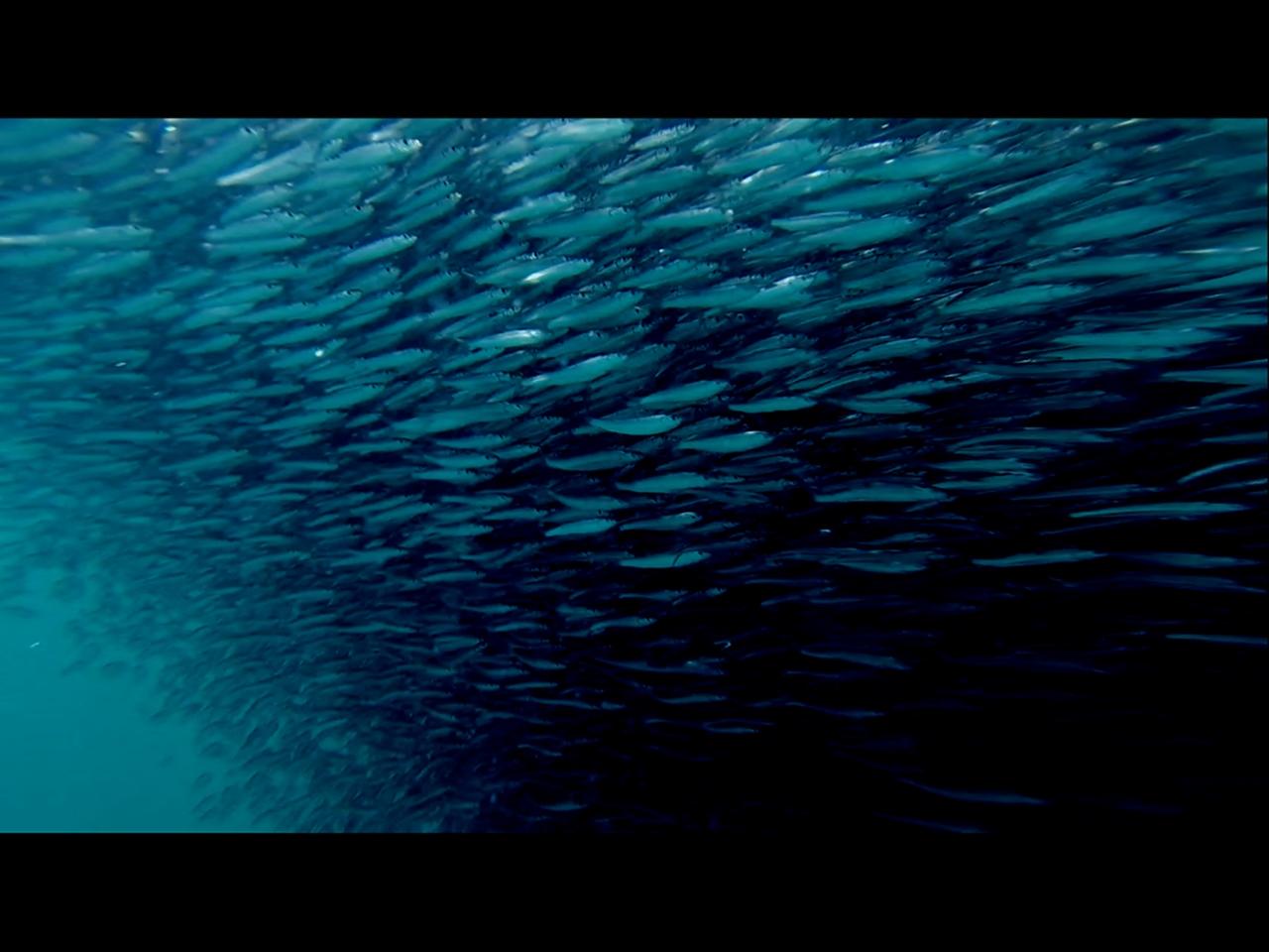 Sarasota fish tornado
