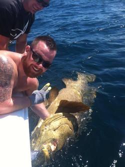 Siesta Key goliath grouper