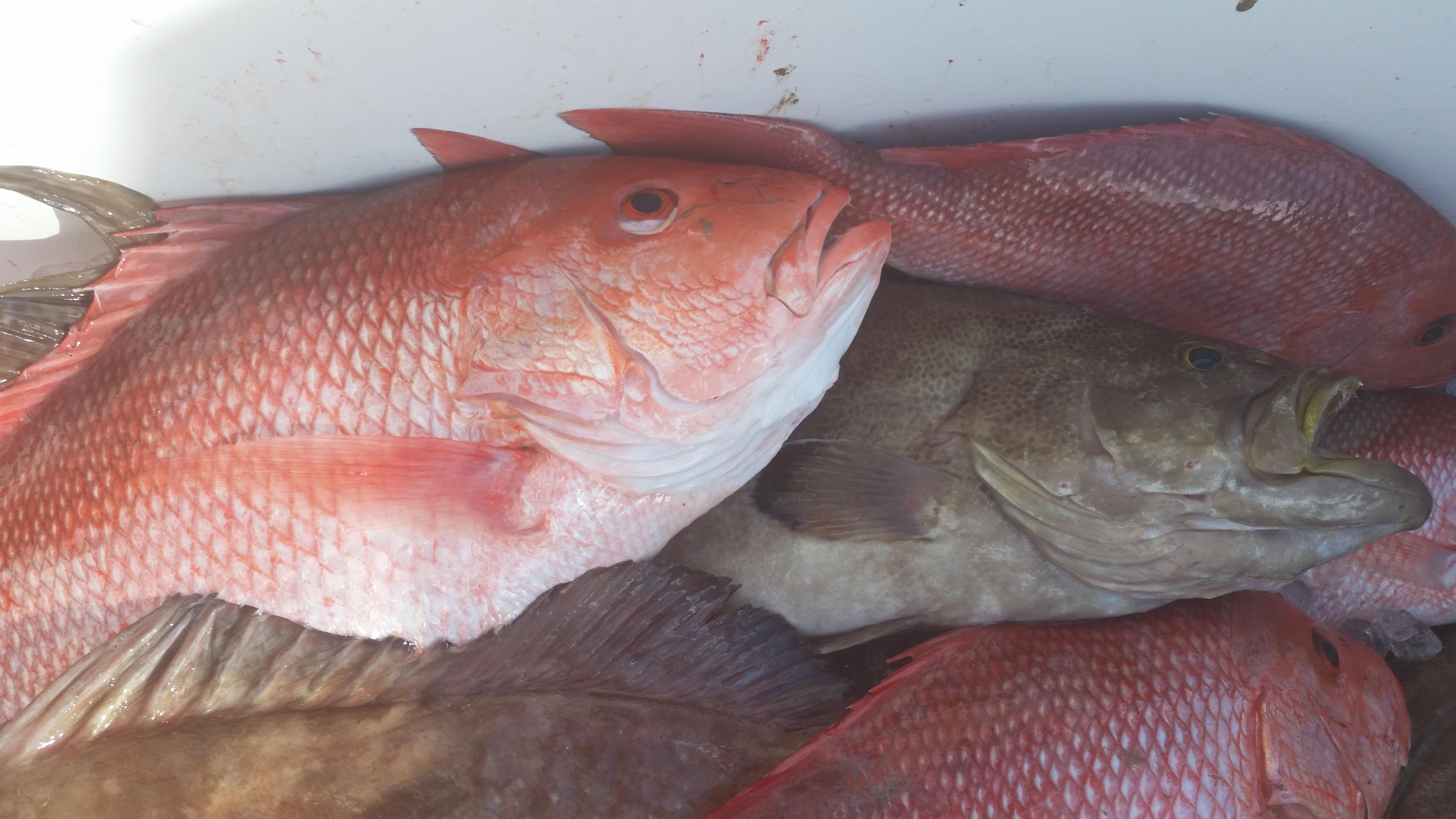Sarasota Fishing - red snapper