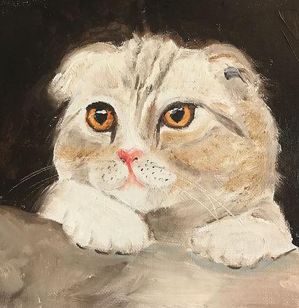 Flat ear Scottish cat.jpg