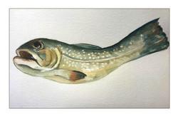 HKeldermansbrook trout .jpg