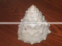 Trochus Shell