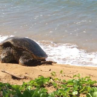 A Green Sea Trutle sleeping on the beach.