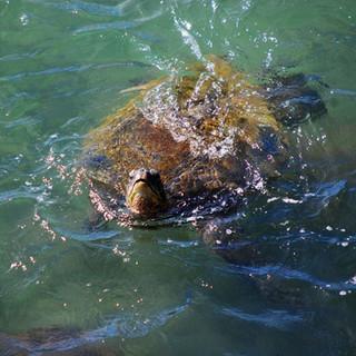 Swimming Sea Turtle