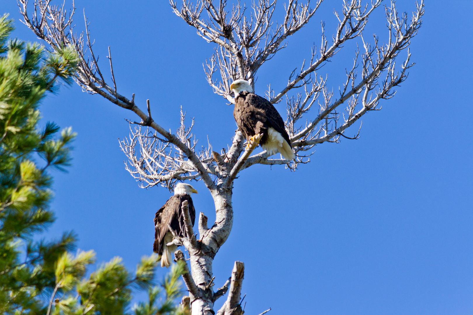 Bald Eagle Sighting