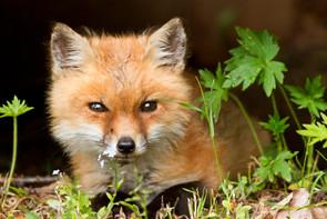 Fox Sighting