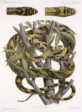 Scientific illustrations of puffing snake relatives.